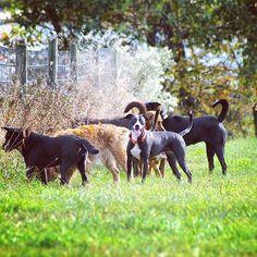 Rupee leading a pack of happy pups! #evasplaypupspa #dogs #dogcamp #doggievacays #dogsinnature #playtime #dogsofinstagram #bordercolliesofinstagram #pitbullsofinstagram #autumn #sweaterweather #endlessmountains #mountpleasant #PA #pennsylvania