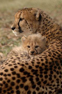 Cheetah with cub, via Flickr.