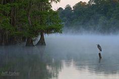 Great Blue Heron (Ardea herodias) at Caddo RAMSAR Wetlands; © Jeff Parker / ExploreinFocus.com