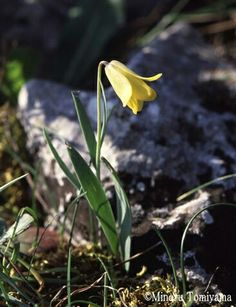 Fritillaria pelinea - Insel Chios