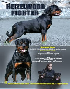 C.IE, V-12, HEW-11 Heizelwood Fighter, AD, MH (Mental Test) HD A/A, ED 0/1, Eyes frei, Heart clear Bred & owned by Theresia Vikstrom of Heizelwood Rottweilers. Lohja, Finland heizelwood@gmail.com 358-50-5168338