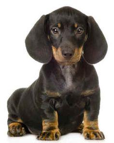 I want a Miniature Dachshund...SO cute!!!