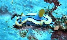 Nudibranch - Chromodoris annae from Lembeh Straits, Indonesia
