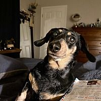 Dachshund Adoption, Pet Adoption, Foster To Adopt, Lakes, Pup, Dog Cat, Florida, Meet, Dogs