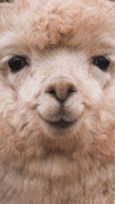 60 Funny Furry Animals To Brighten Your Day - Lama / Alpaka - Animals Wild Cute Funny Animals, Cute Baby Animals, Animals And Pets, Cute Cats, Wild Animals, Alpacas, Cute Creatures, Beautiful Creatures, Animals Beautiful