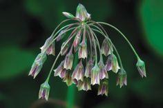 Allium Nectarscodum - like fairy castles