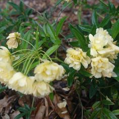 Rosa Banksiae Lutea - The Yellow Banksia Rose is a hardy, sprawling climber that grows quickly and robustly. The beautiful clusters of small, double yellow 'rose-like' flowers bloom in warmer months, covering the bush in yellow beauty. Ideal for specimen planting, climbing, colour contrast and as a feature. Train this evergreen to climb up a trellis, wall, fence or embankment to stunning effect. www.divineplantsonline.com.au