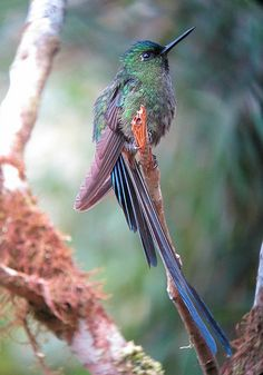 ☀Aglaiocercus coelestis / Cometa colivioleta / Violet-tailed Sylph (male)