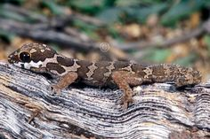 pachydactylus barnardil