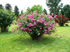 Growing Roses  Growing roses requires no gardening skills or experience. Essentially, there are three easy steps:  1.Choose the right rose for your space  2.Plant your rose where it will get at least six hours of sun each day  3.Water regularly   Voila - your roses are off to a healthy start. Here are more details to ensure a summer full of rose blooms.