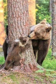 'The bear played with other cubs around the trees too. They climbed trees and went down fo. Valtteri Mulkahainen, from Finland was mesmerised when he witnessed the incredible moment a mother bear humanly kissed her babies in the town of Matrinselkonen. Nature Animals, Animals And Pets, Wild Animals, Cute Baby Animals, Funny Animals, Baby Pandas, Animals Kissing, Photo Ours, Mother Bears