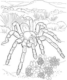 Tartantula Coloring Pages For Adults Desert Animals Animal Coloring Pages, Free Coloring Pages, Coloring For Kids, Coloring Books, Coloring Worksheets, Printable Coloring, Desert Animals, Desert Colors, Animal Habitats