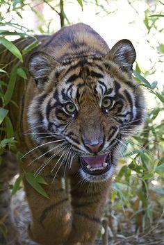 So cute! Tiger cub Majel at the Safari Park by Official San Diego Zoo, via Flickr