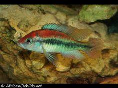 Xystichromis sp. 'flameback' - Lake Victoria Cichlids