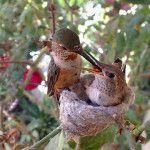 Hummingbird Webcam: Phoebe's Nest and Feeder