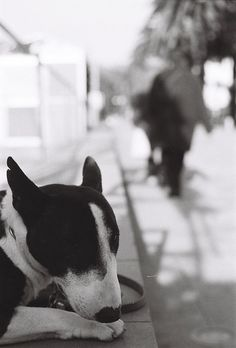 my obsession with bull terriers is growing and growing