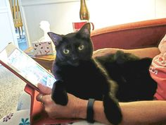 "From Debbie: ""This is Pique, my crazy, wild and beautiful black cat. He doesn't like it when I play Candy Crush so he curls up on my iPad to stop me!"" In October, we are celebrating black cats for Halloween. www.catfaeries.com - Products for good behavior & health for the modern housecat."
