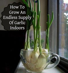 32 Ways to Create the Best Indoor Herb Garden : Endless Flavor: Grow Garlic Indoors! Outdoor Plants, Garden Plants, Plants Indoor, Indoor Herbs, Air Plants, Cactus Plants, Tomato Plants, Edible Plants, Garden Hose