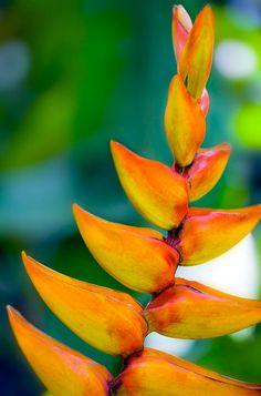 Ginger flower - tropical