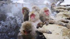 snow monkey park jigokudani nagano japan Getting here requires a bit of travel, but it is worth the journey (and you get to pass through Nagano, host of the 1998 Winter Olympics and home of the magnificent Zenko-ji Temple) Kumamoto, Cades Cove, Pigeon Forge, Lonely Planet, Wyoming, Audley Travel, Winter In Japan, Monkey Park, Snow