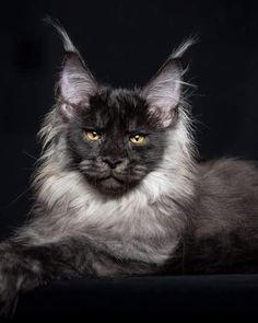 Black Smoke Maine Coon Cat