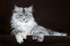 Los gatos más grandes del mundo (Galería) - https://www.vexsoluciones.com/noticias/los-gatos-mas-grandes-del-mundo-galeria/