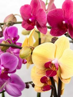 Phalaenopsis care, if you grow common hybrids, is simple. However, species of Phalaenopsis is another question. Some of them, such as Phalaenopsis amabilis . Phalaenopsis Orchid Care, Cactus, Big Backyard, Small Gardens, Indoor Plants, Garden Landscaping, Leaves, Landscape, Rose