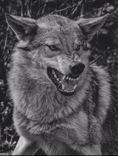 45 ideas for tattoo wolf angry black wolves Wolf Images, Wolf Photos, Wolf Pictures, Wolf Growling, Wolf Headdress, Snarling Wolf, Wolf Hybrid, Angry Wolf, Angry Animals