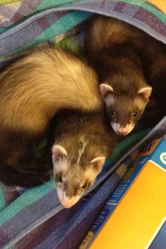These look like the two ferrets Scott and I had, Smudge and Banshee. I miss my babies sooo much!