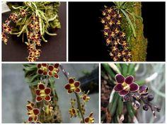 Получила орхидею Chiloschista lunifera rot! (Хилошиста получена Ура!!!!)