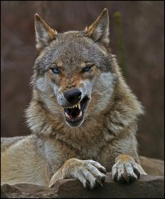 Wolf Quotes Fauna Wildlife Wolf Pictures Animal Pictures Beautiful Wolves