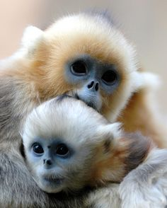 """Golden Monkeys by floridapfe on Flickr. """"Upper one is elder brother and below is younger brother. I'm not sure they love each other. Their parents were moved from China to Everland zoo, South Korea in 2008."""""""