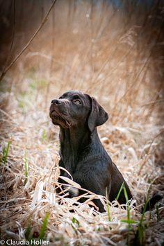 Hündin 18 Wochen Labrador Retriever, Dogs, Animals, Pet Dogs, Labrador Retrievers, Animales, Animaux, Doggies, Labrador
