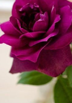 Beautiful, dark purple rose. I wonder if it's a hybrid to lavender color roses. I've never seen this dark of a purple color rose #Colorful Roses| http://colorful-roses-julien.lemoncoin.org