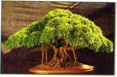 Willow leaf ficus. Tropical bonsai tree.