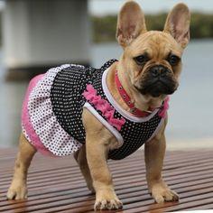 French Bulldog in a Dress❤