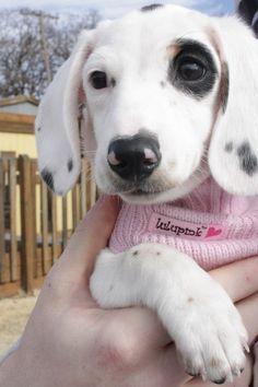 Annabelle, gorgeous piebald dachshund #dachshund