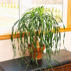 another fav! ..   Ponytail Palm~        Ponytail palm (Beaucarnea recurvata) produces long, narrow leaves that come from a single point on top of the thick, fleshy stems. These stems store moisture, making this plant an especially good bet if you forget to water from time to time. Ponytail palm can eventually grow 10 feet tall and tolerates low to bright light.