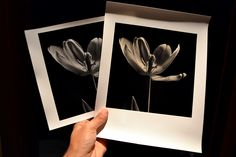 Film and darkroom website with info, tips and advice on materials and techniques used in making traditional silver gelatin prints. Tulips, Polaroid Film, Printing, Photography, Photograph, Stamping, Fotografie, Tulip, Fotografia