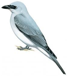 Manus Cuckoo-shrike (Coracina ingens) (Formerly included in Coracina papuensis)