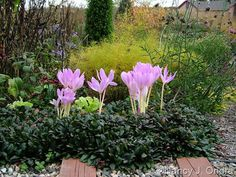 Amsonia hubrichtii in fall color behind Colchicum 'Violet Queen' and Ajuga 'Valfredda' (Chocolate Chip); Nancy J. Ondra at Hayefield