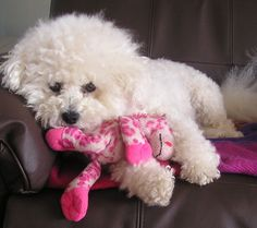 EM with her favourite pal. giraffe who she insists on taking to bed every night. Bichon Dog, Maltese Dogs, Cute Puppy Pictures, Dog Pictures, Giraffe Photos, Dog Insurance, Cute Dogs And Puppies, Dog Memorial, Animals And Pets