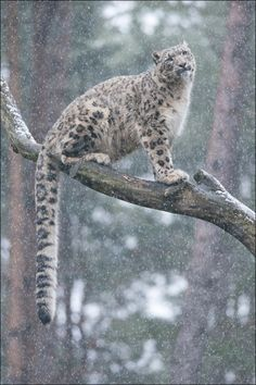 A snow leopards tail is so long, it helps it to balance when scaling dangerous cliff faces.