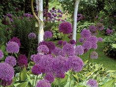 """Note to self: remember to order allium bulbs for planting in the fall.   """"Successful garden designs use color, leaf shape and tree stems to create a balance of color and form."""" HGTV"""
