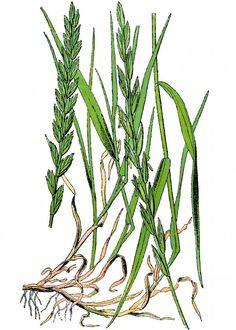 Pýr plazivý, všudypřítomný plevel s léčivými oddenky. Má diuretické, detoxikační a antibakteriální účinky. Recepty na čaj, tinkturu, léčivé bylinné směsi. Herb Garden, Herbs, Plants, Herbs Garden, Herb, Plant, Planets, Medicinal Plants