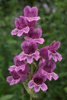 Arkansas native - Purple beardtongue (Penstemon cobaea)