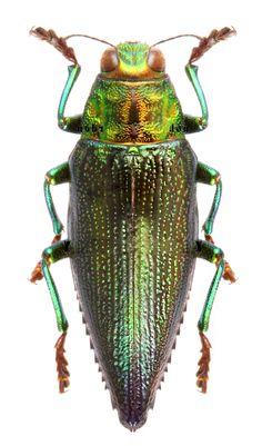 Chrysodema gelaeus