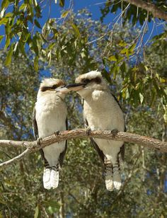 Kookaburras. The Straddie Twins Beautiful Birds, Animals Beautiful, Cute Animals, Animals And Pets, Reptiles, Mammals, Birds In The Sky, Native American Pictures, Nature Sketch