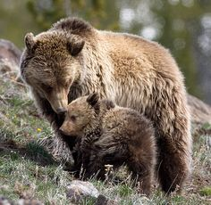 Grizzly Bears - Someone to Watch Over Me by Max Waugh Photography, via Flickr