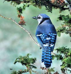 Blue Jay - also my favourite baseball team. The Toronto Blue Jays